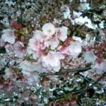 上野公園の大寒桜